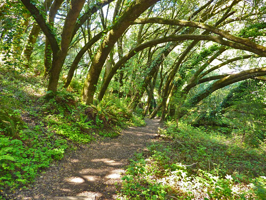 The Dipsea Trail passes through a varied forest to stunning ocean views