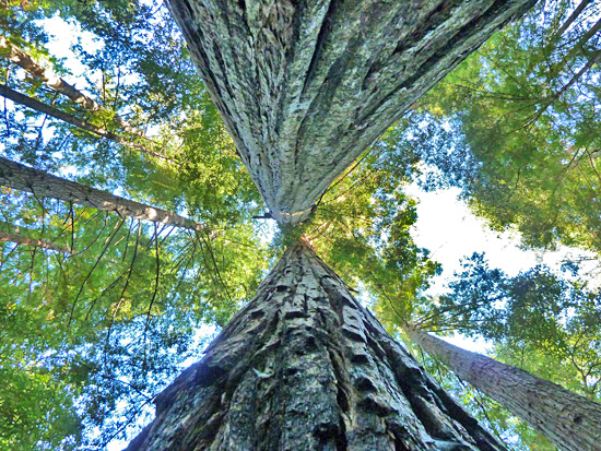 Two massive coastal redwoods tower over the Creeping Forest Trail