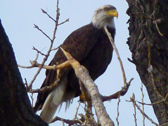 Bald Eagle - Barr Lake State Park Denver